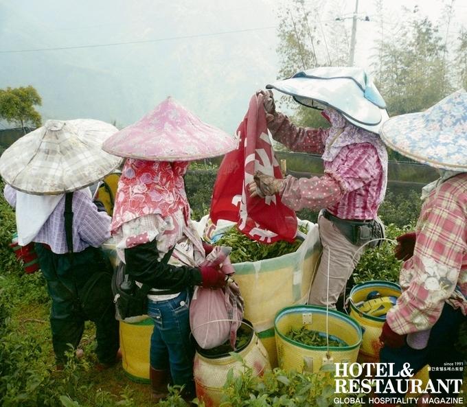 1. 채엽_ 타이완의 고산 지대에서 찻잎을 수확하는 여성들의 모습